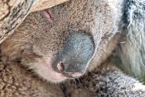 Koala at Maru Animal Park